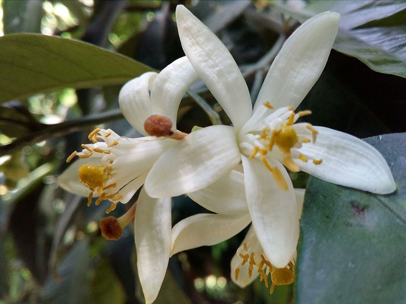 Photo of citrus blossoms by Ανώνυμος Βικιπαιδιστής. Uploaded to Wikimedia Commons under CC-BY-3.0