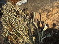 Cladonia fimbrata (1).jpg