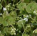 Claytonia perfoliata - Flickr - S. Rae.jpg