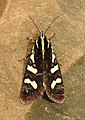 Clicking Forester Aegocera bimacula by Dr. Raju Kasambe DSCN6647 03.jpg