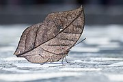 Close wing basking of Kallima inachus Doyere, 1840 – Orange Oakleaf WLB - MG 9525.jpg