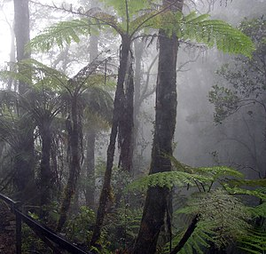 Cloud forest - Tree ferns in a cloud forest on Mount Kinabalu, Borneo