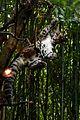 Clouded Leopard Belly NashvilleZoo.jpg