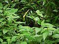 Colocasia esculenta (3915354560).jpg