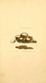 Coloured Figures of English Fungi or Mushrooms - t. 147.png