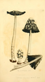 Coloured Figures of English Fungi or Mushrooms - t. 170.png