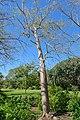 Colvillea racemosa - Marie Selby Botanical Gardens - Sarasota, Florida - DSC01244.jpg