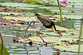 Comb-crested Jacana, Kakadu.jpg