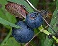 Common Bilberry (Vaccinium myrtillus) - Oslo, Norway 2020-08-30 (01).jpg