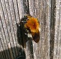 Common Carder Bee. Bombus pascorum. Queen - Flickr - gailhampshire.jpg