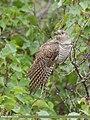 Common Cuckoo (Cuculus canorus) (50584993112).jpg
