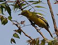 Common Iora (Aegithina tiphia) in Hyderabad W IMG 5622.jpg