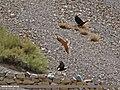 Common Kestrel (Falco tinnunculus) (27166243645).jpg