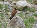 Common Kestrel (Falco tinnunculus) (43770476900).jpg