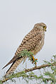 Common Kestrel at Hessarghatta.jpg