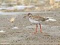 Common Redshank (Tringa totanus) (33755993834).jpg