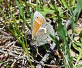 Common Ringlet (Coenonympha tullia) (7219151020).jpg