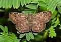Common Small Flat Sarangesa dasahara by Dr. Raju Kasambe DSCN7727 (5).jpg