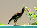 Common myna (Acridotheres tristis) spotted at Madhurawada 05.jpg
