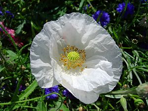 White poppy - White poppy (Arctomecon merriamii)