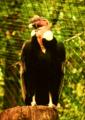 Condor de los Andes 1.png