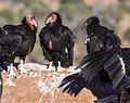 Condors on the Rise (15331132066).jpg