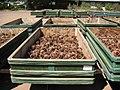 Cones Drying in the sun (3821446982).jpg