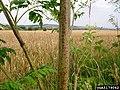 Conium maculatum stem (11).jpg