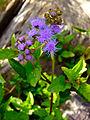 Conoclinium coelestinum - Blue Mist Flower.jpg