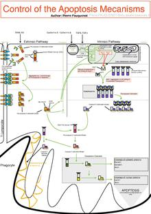 Control Of The Apoptotic Mechanisms