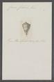 Conus cibieli - - Print - Iconographia Zoologica - Special Collections University of Amsterdam - UBAINV0274 086 09 0017.tif