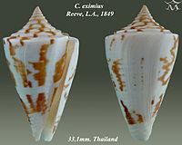 Conus eximius 1.jpg