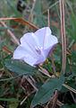 Convolvulus arvensis Ligerz1.jpg
