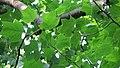 Copacul Lalea - Parcul Central - Bistrita (683385317).jpg