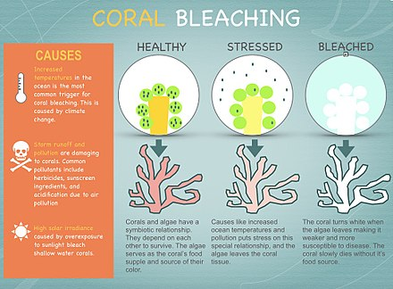 Coral and microscopic algae have a symbiotic relationship. When water temperatures get too high, the algae leave the coral tissue and the coral begins to starve. Coral Bleaching.jpg