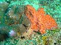 Coral and sponge at Devils Peak dsc03791.jpg