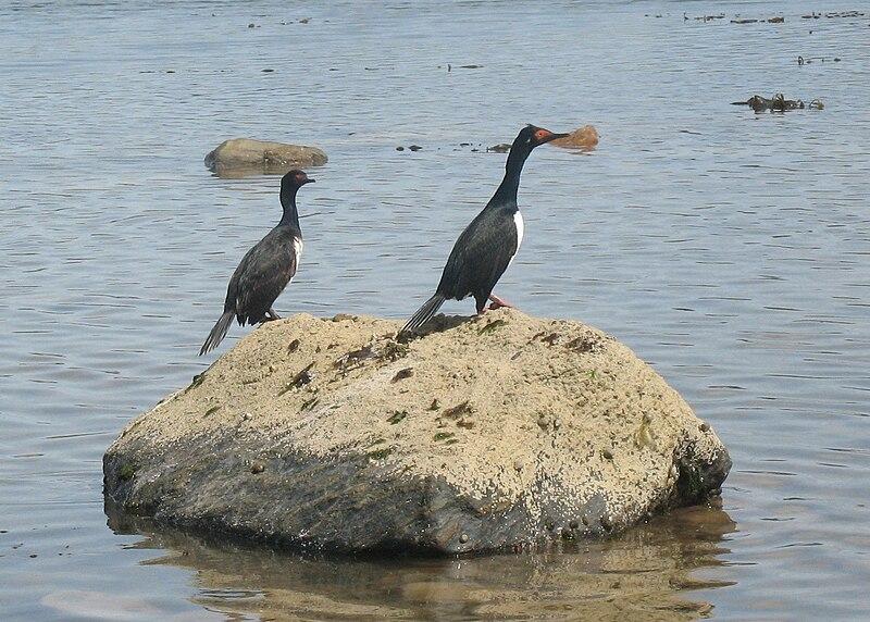 File:Cormoranes de cuello negro en canal beagle.jpg