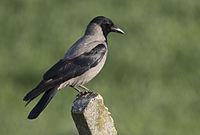 Corneille mantelée - Hooded crow - Gri leş kargası 03.jpg