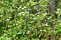Cornus sericea sericea UL 07.jpg