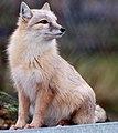 Corsac Fox 2 (6785201249).jpg