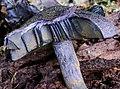Cortinarius kioloensis Wood 330428.jpg