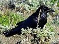 Corvus corax -California-USA-8.jpg