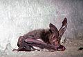 Corynorhinus rafinesquii.JPG