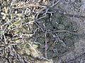 Coryphantha cornifera (5780926378).jpg