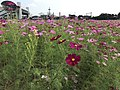 Cosmos fields in front of Kanzaki Station 4.jpg