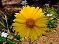 Cosmos flower 1.JPG