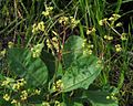 Cotinus coggygria PID1987-1.jpg
