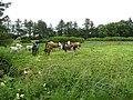 Cows, Aghaboy - geograph.org.uk - 1394422.jpg