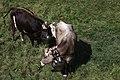 Cows-IMG 5413.JPG