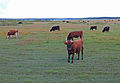 Cows on meadow.JPG